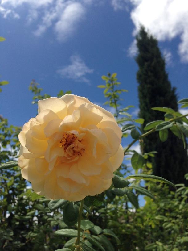 Don Juan rose 2014